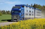 Supertruck Volvo FH lebend Viehtransport